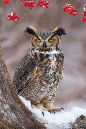 Great Horned Owl - Full Portrait - Winter - Howell