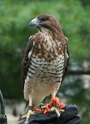 Birds of Prey- Broad Wing Hawk full shot