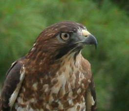 Birds of Prey- Broad Wing Hawk