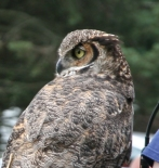 Birds of Prey- Owl