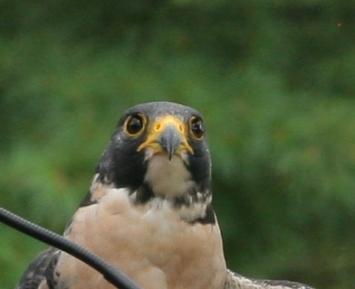 Birds of Prey- Peregrine Falcon Close Up