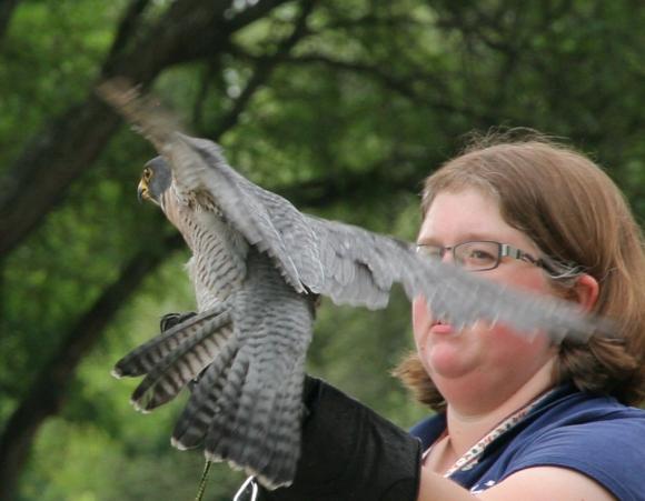 Birds of Prey- Peregrine Falcon